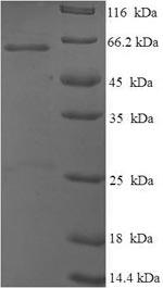 SDS-PAGE Tp53.