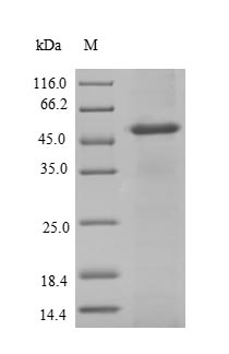 NAT2 recombinant protein