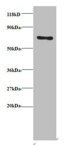 anti-TRAP1 antibody