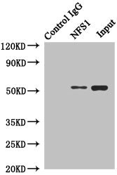 anti-NFS1 antibody Immunoprecipitation (IP) (IP) image