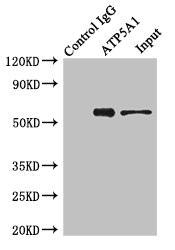Immunoprecipitation (IP) ATP5A1.