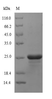 SDS-Page Puromycin N-acetyltransferase (pac).