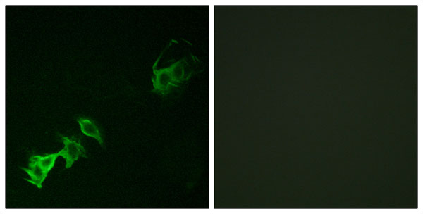 anti-Abl antibody Immunofluorescence (IF) image