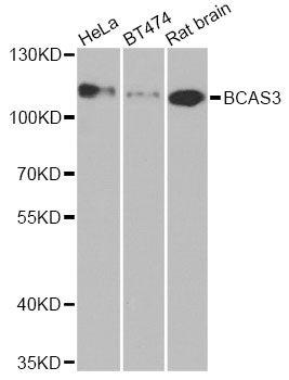 Western Blot (WB) BCAS3.