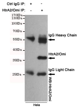 Immunoprecipitation (IP) HTRA2.