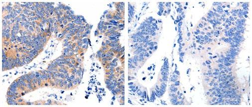 Immunohistochemistry (IHC) DAP3.