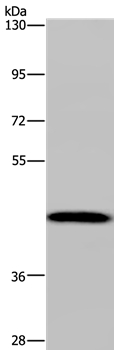 anti-CYP1A2 antibody Testing Data image
