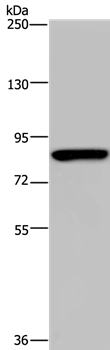 anti-PARP8 antibody Testing Data image