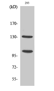 Western Blot (WB) NOTCH2.