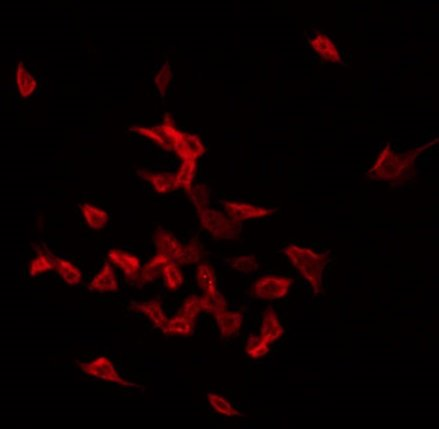 anti-SEPT1 antibody Immunofluorescene (IF) image