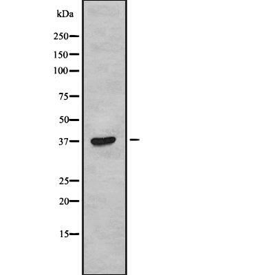 anti-TAS2R38 antibody Western Blot (WB) (WB) image