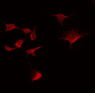 Immunofluorescene (IF)